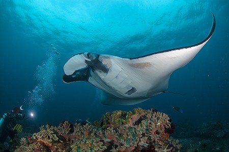 Diving with Manta Rays, Raja Ampat, Indonesia