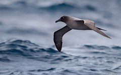 Albatross above waters of the Southern Ocean