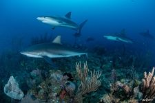 Sharks near coral reef