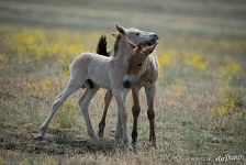 First free-born thoroughbred foals of Przewalski's horses. Pre-Ural Steppe
