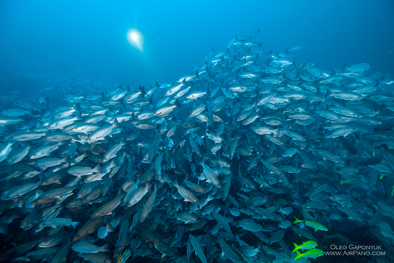 Among thousand fishes. Diving with Caranx. Malpelo Island, Colombia