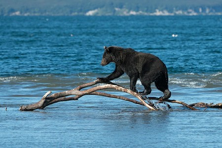 Journey to the bears in the Kronotsky Reserve, Kamchatka