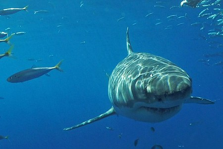 Diving with great white shark