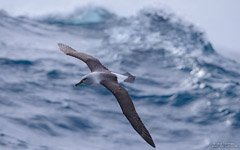 Albatross above the Southern Ocean