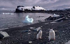 Chinstrap penguins on shore