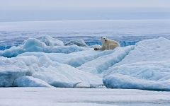 Female polar bear resting on the pack ice along Spitsbergen coast