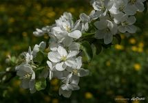 Flowers of apple-tree