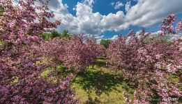 Pink apple trees