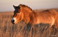 Wild and thoroughbred Przewalski's horse. Pre-Ural Steppe