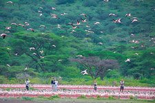 Flamingo, Kenya, Lake Bogoria #28