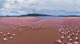 Flamingo, Kenya, Lake Bogoria #7