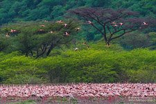 Flamingo, Kenya, Lake Bogoria #13
