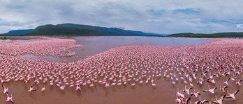 Flamingo, Kenya, Lake Bogoria #16