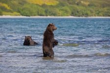 Bears in the lake